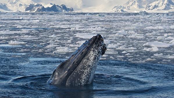 Humback_Whale_shutterstock_357960038.jpg