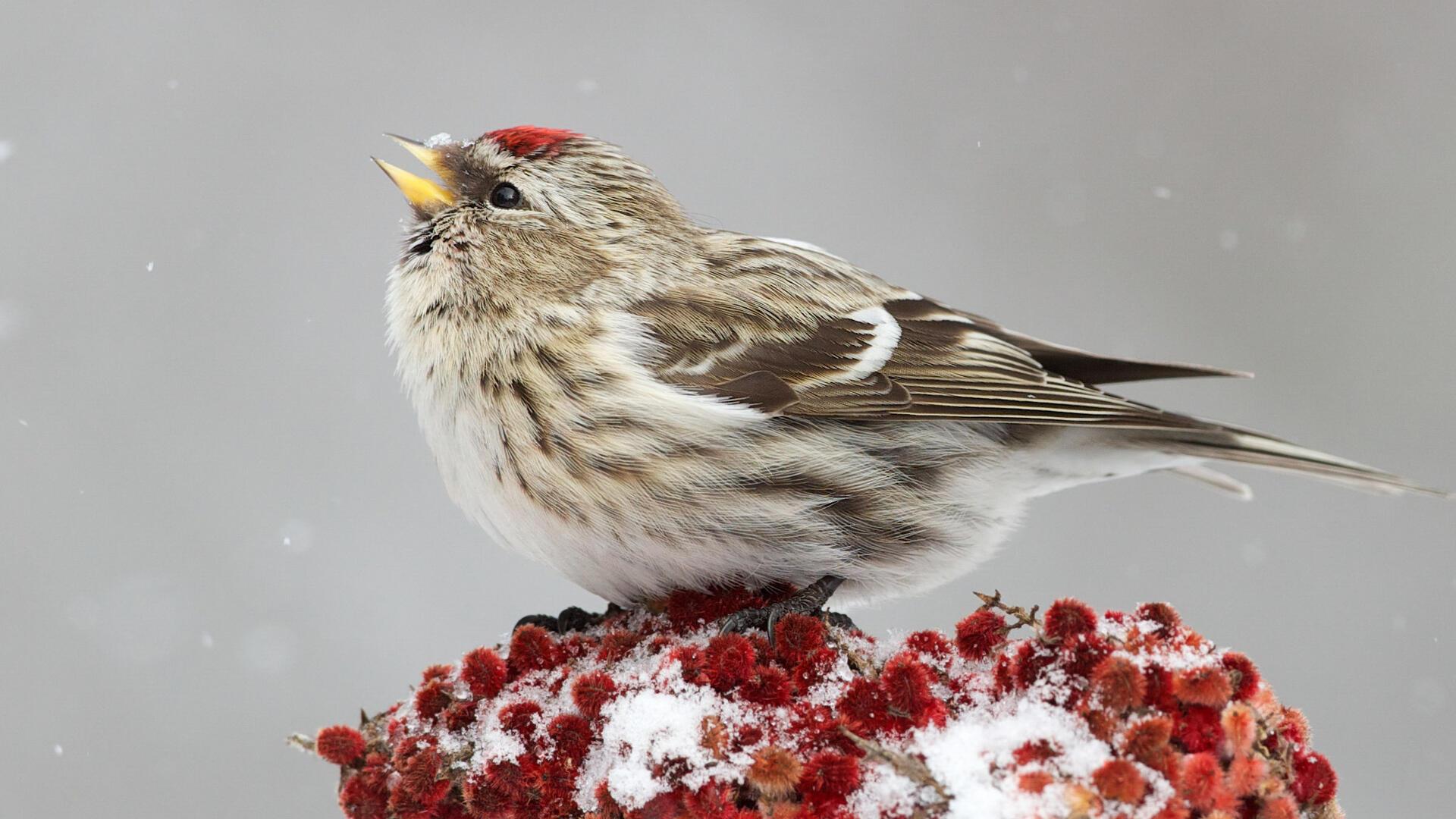 Adult female. Photo: Missy Mandel/Great Backyard Bird Count